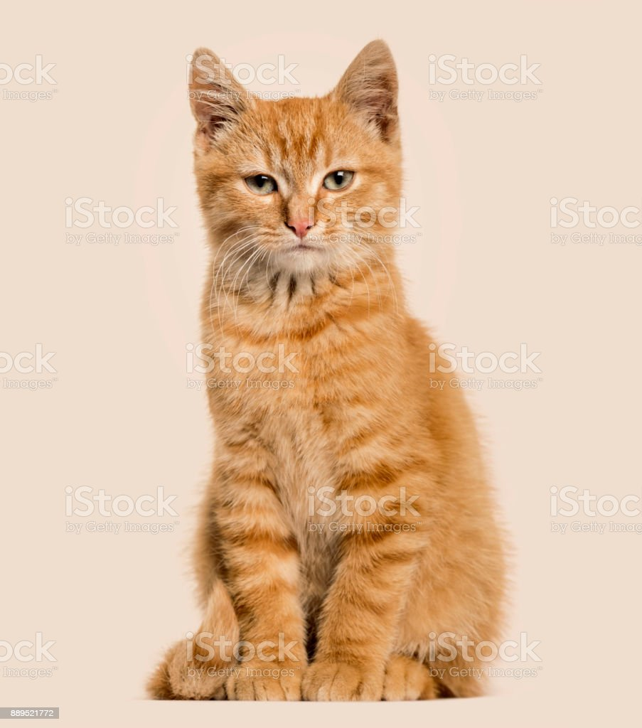 Ginger cat, sitting, colored background stock photo