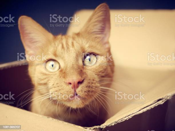Ginger cat sitting in a cardboard box and looking curious to the picture id1081365202?b=1&k=6&m=1081365202&s=612x612&h=q293qebogtcqnyhy4v9uvekd ftbbaw8syho rfonns=