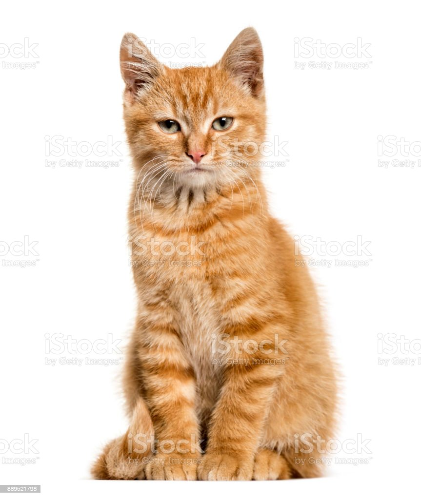 Ginger cat, sitting, isolated on white stock photo