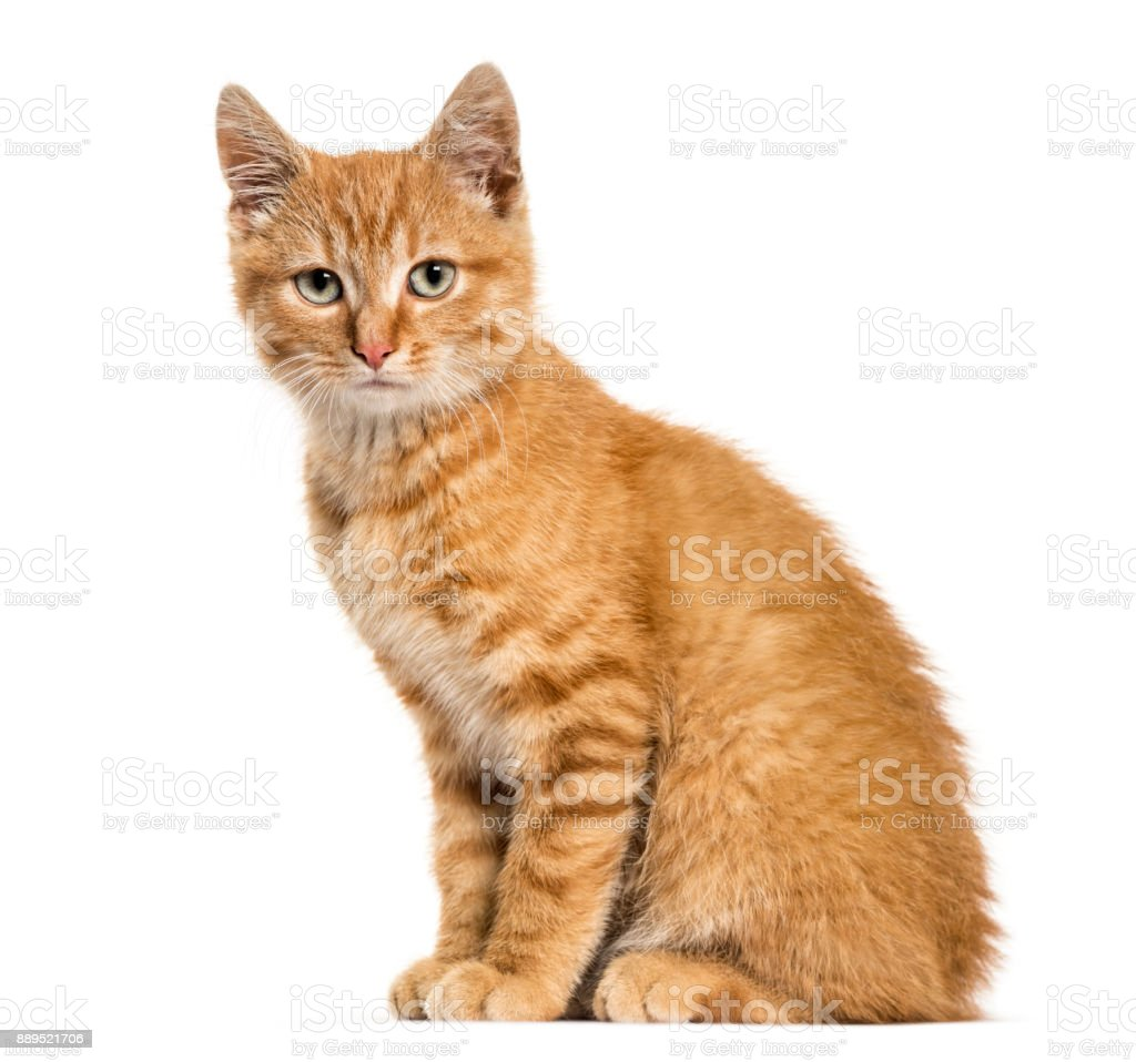 Ginger cat, sitting looking at the camera, isolated on white stock photo