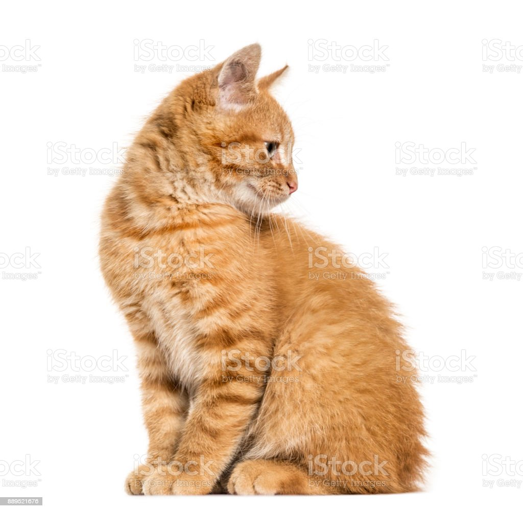 Ginger cat, sitting looking away, isolated on white stock photo