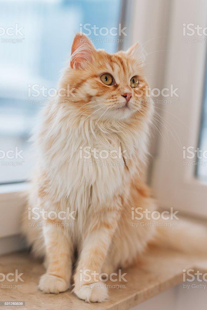 Rudy Kot Siedzący Obok Okna I Patrząc Wokół Stockowe Zdjęcia I