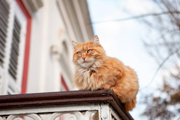 Ginger cat sitting on a balcony picture id1061296482?b=1&k=6&m=1061296482&s=612x612&w=0&h=exg6qgeajxd2jdudeugsj pt1cpu0irkntwwsinvbd8=