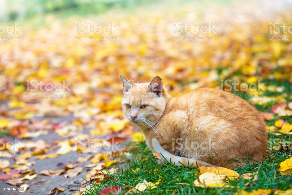 Ginger cat sitting on fallen leaves in an autumn garden stock photo
