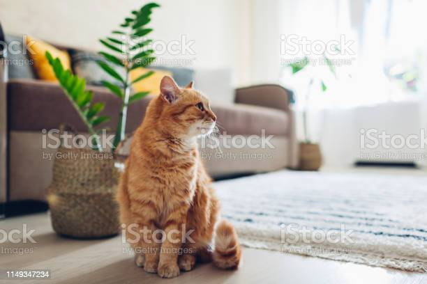 Ginger cat sitting on floor in cozy living room interior decor picture id1149347234?b=1&k=6&m=1149347234&s=612x612&h=sxoktfbh skwiogl9efbjdrrrfuw8dkwlslbjzp4j8i=