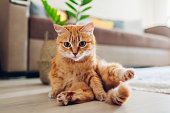 istock Ginger cat sitting on floor in living room and looking at camera. Funny pet pose 1149347768