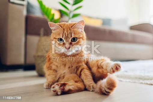 Ginger cat sitting on floor in living room and looking at camera after cleaning itself. Funny pet pose