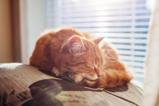 Ginger cat sleeping on cushion in living room by window. Pet having nap at home