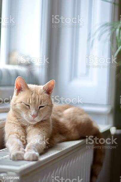 Ginger cat sleeping picture id510335999?b=1&k=6&m=510335999&s=612x612&h=vwb3datq smxvxft8cewgfhwfidpyrk3wrte1lknvx4=