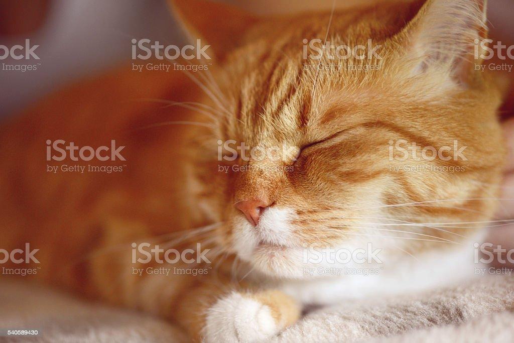 ginger cat sleeping stock photo
