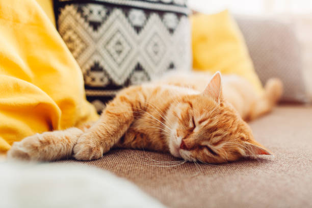 Ginger cat sleepng on couch in living room surrounded with cushions picture id1153834825?b=1&k=6&m=1153834825&s=612x612&w=0&h=50f84gcgxxoygwl32kdmlwradf5bizn yqph goloqw=