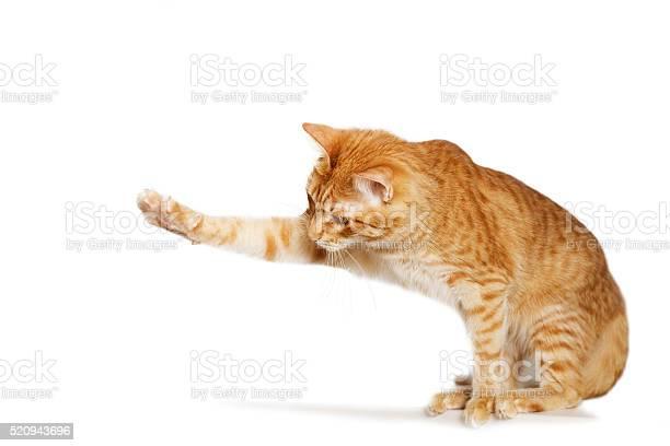 Ginger cat stretches out his paw picture id520943696?b=1&k=6&m=520943696&s=612x612&h=ukmxtbusuj vidomdpmiac7blu tzmoqhb5uibeozug=