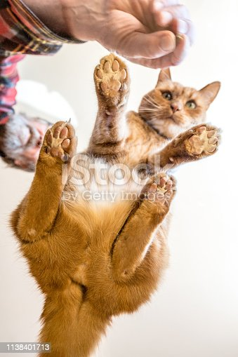 istock Ginger Cat waiting for food, view From Bottom Up 1138401713