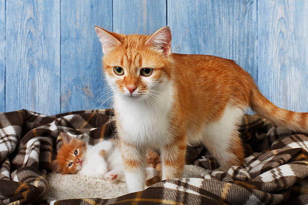 Ginger cat with its kitten on plaid blanket picture id544557488?b=1&k=6&m=544557488&s=612x612&w=0&h=mxbgn4jyygjn8ly0hjytbfdajht lnnrrku8 nopcyk=