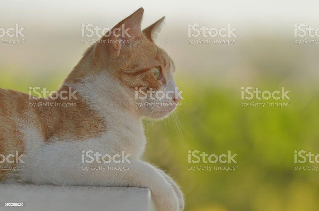 Ginger cat with paws hanging over balcony edge royaltyfri bildbanksbilder