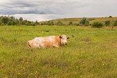 A ginger cow lies on the grass. Bull, calf, livestock. Symbol of 2021. Summer concept.