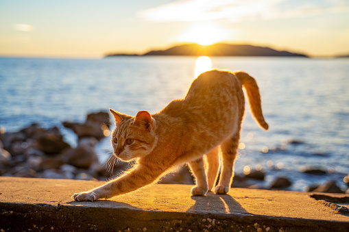 Ginger cute cat stretching a rocky beach and a beautiful sunset over the ocean in the background