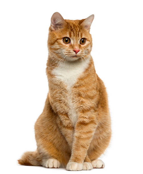 Ginger Cat Stock Photos Pictures Amp Royalty Free Images