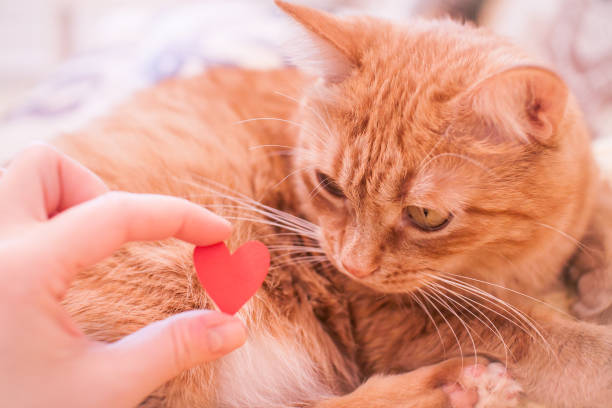 Ginger fat cat looks with interest at a small red paper heart picture id1290447367?b=1&k=6&m=1290447367&s=612x612&w=0&h=htuzjqnbhejcsc7xerlqfvucgewfu4jznz6m cdnmqe=