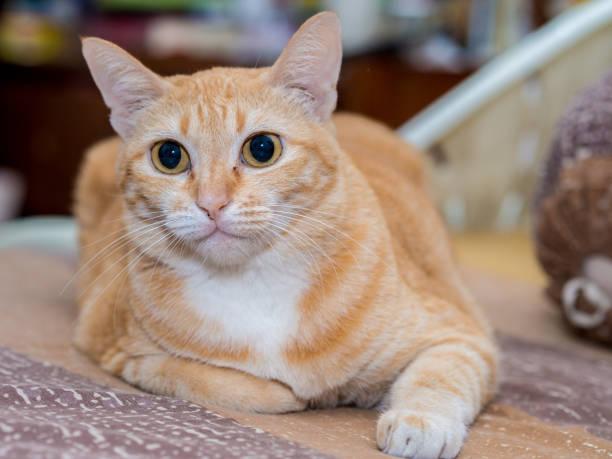 Gato de gengibre gordo na cama - foto de acervo