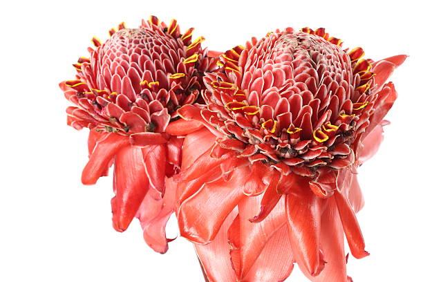 ginger flower over white - torch lily stockfoto's en -beelden