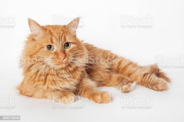 Ginger fluffy cat picture id506223548?b=1&k=6&m=506223548&s=612x612&h=wcqow6ldkpv53sqolephxcxlswy6swnvjmc3jz0heyo=