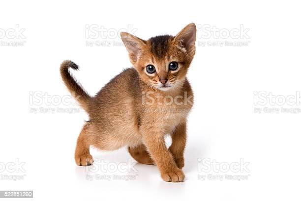 Ginger kitten abyssinian picture id522851260?b=1&k=6&m=522851260&s=612x612&h=j9tszeu4wjdmto5yttry lyl hamhicu4inmwsrxx78=