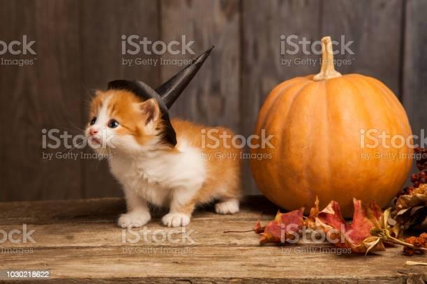 Ginger kitten and halloween pumpkin jackolantern on black wood picture id1030218622?b=1&k=6&m=1030218622&s=612x612&h=daotqluhymk6tngkticntkkddo6wqbizpsc3efb5qpq=