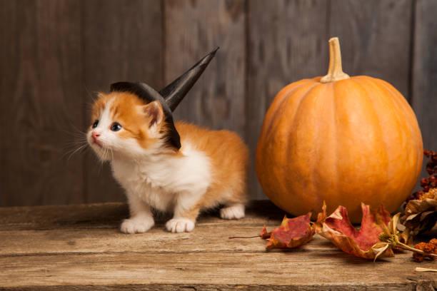 Ginger kitten and halloween pumpkin jackolantern on black wood picture id1030218622?b=1&k=6&m=1030218622&s=612x612&w=0&h=zvn1dkdwxw3u1lmxi8convk6amihiumwbpl0okjkybm=