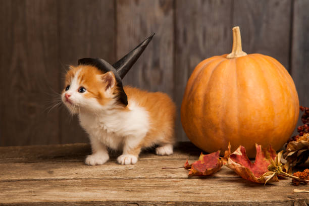 ginger kitten and halloween pumpkin jack-o-lantern on black wood background. ginger kitten and halloween pumpkin jack-o-lantern on black wood background halloween cat stock pictures, royalty-free photos & images