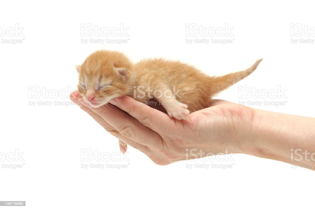 Ginger kitten in hand isolated on white background royalty-free stock photo
