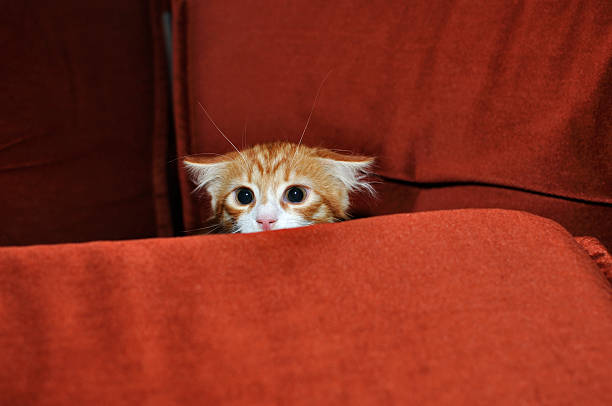 Ginger kitten Ginger kitten frightened looks out for obstacles ambush stock pictures, royalty-free photos & images