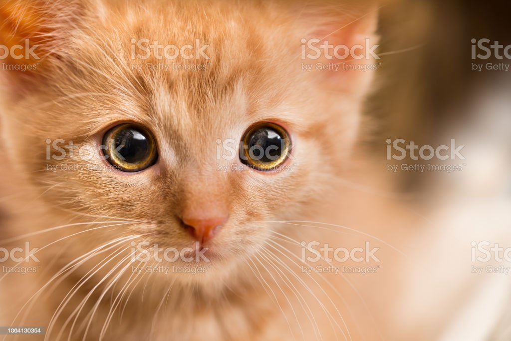 Detail of little tabby kitty face staring at camera. Close-up of a...