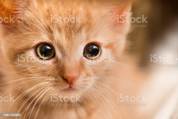 Ginger kitten portrait domestic cat 8 weeks old felis silvestris picture id1064130354?b=1&k=6&m=1064130354&s=612x612&h=jy69c 4jfu1dfwjwz3kjn8iieg7ktopl2bitsk1nhme=