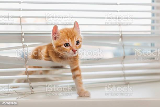 Ginger kitten tangled in window blinds picture id505015928?b=1&k=6&m=505015928&s=612x612&h=yjagvag3kuutmztwba7rxymy 468bax2uc asur dic=