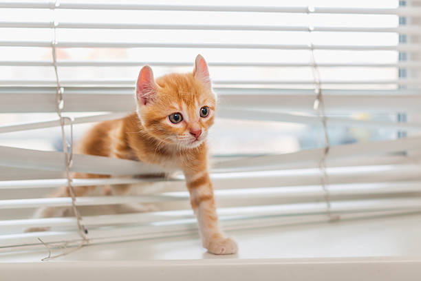 Ginger kitten tangled in window blinds picture id505015928?b=1&k=6&m=505015928&s=612x612&w=0&h=flmlj7s0ti2o344v2sp n7c1o0 ljjmcul8zs8tqjva=