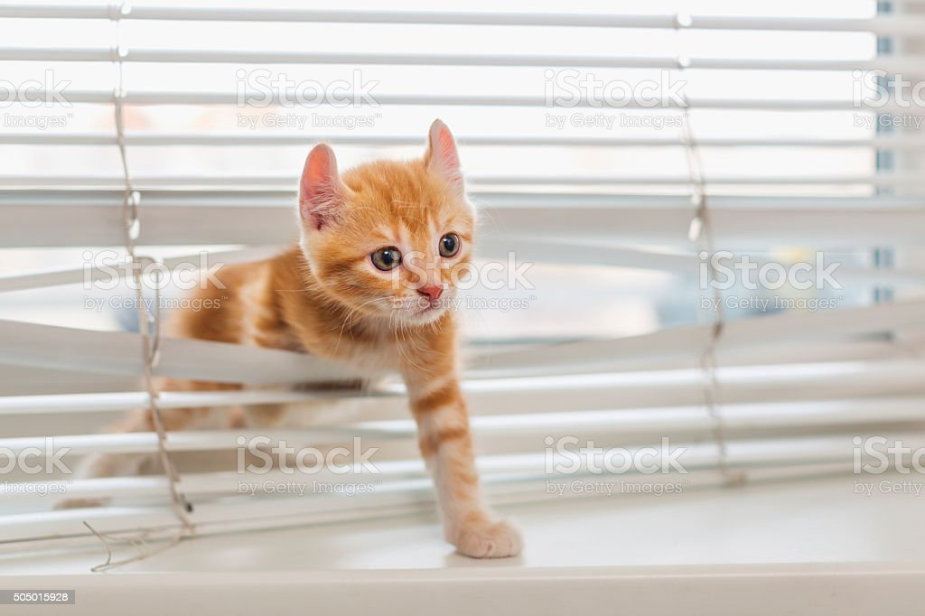 Ginger kitten tangled in window blinds stock photo