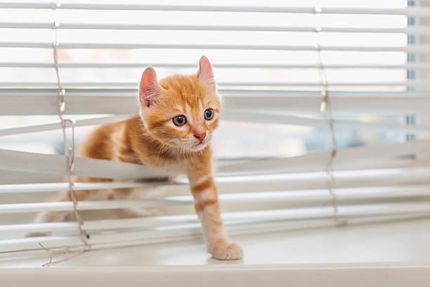 ginger kitten tangled in window blinds - 惡意 個照片及圖片檔