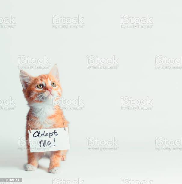 Ginger kitten with a sign on his neck on a light background picture id1251584811?b=1&k=6&m=1251584811&s=612x612&h=qybhkgsopn bhz5usi3y1bqmokalzlumo3fvrhfey8g=