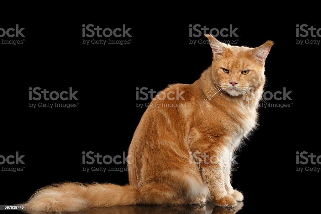Ginger Maine Coon Cat Gaze Looks Isolated on Black Background foto royalty-free