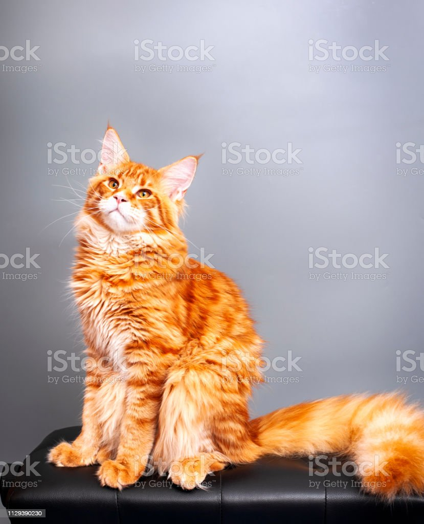 Ginger Maine Coon cat sitting against gray background. Close-up.