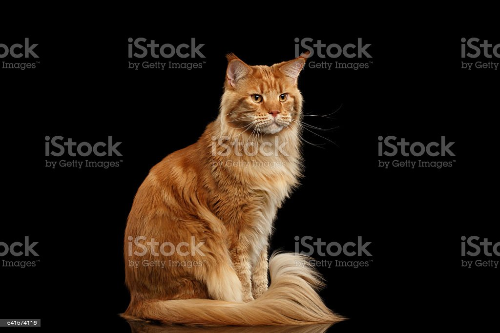 Ginger Maine Coon Cat with Furry Tail Sitting Isolated Black - foto de acervo