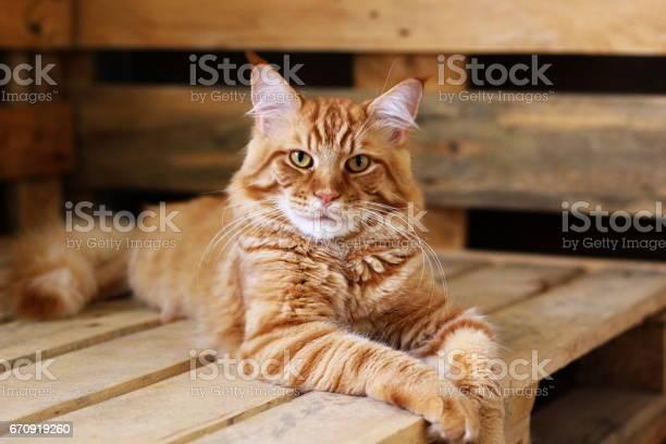 Ginger maine coon picture id670919260?b=1&k=6&m=670919260&s=612x612&h=1rpiz0iuw1hfubtc4ae3kew crzwrfs0koujk odesq=