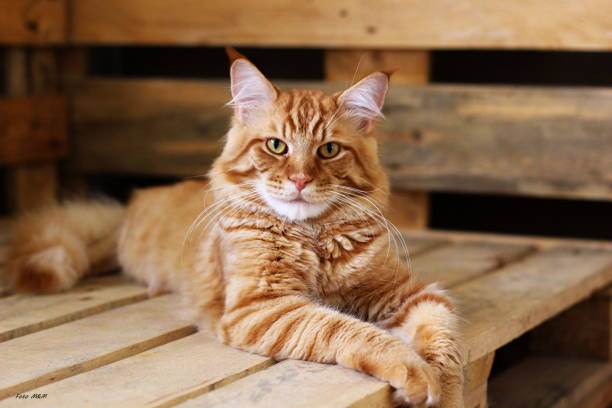 ginger Maine Coon stock photo