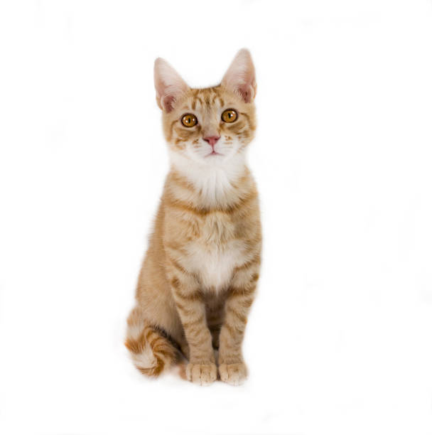 Ginger mixed breed cat 6 months old sitting picture id517610962?b=1&k=6&m=517610962&s=612x612&w=0&h=lurlmqy0iuz15pfrxg8mt1fsvvykezma6v8rczvpxng=