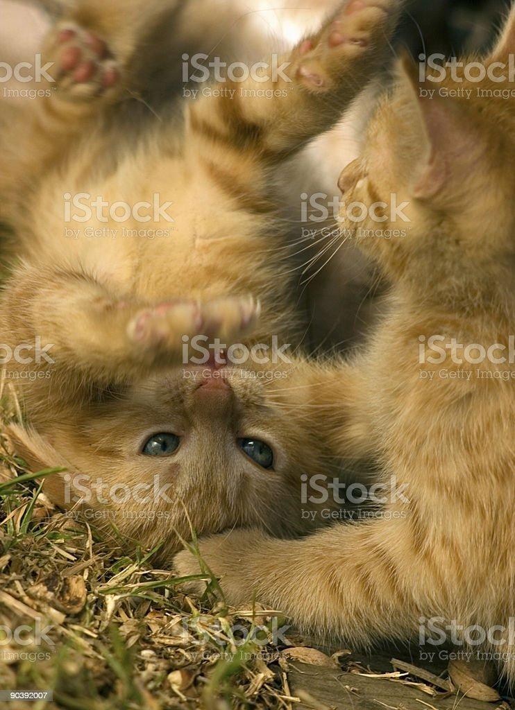 Ginger Ninjas royalty-free stock photo