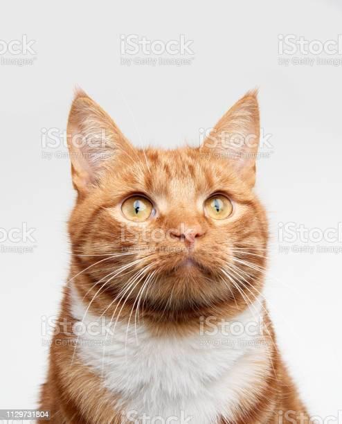 Ginger red tabby cat head shot looking up off camera picture id1129731804?b=1&k=6&m=1129731804&s=612x612&h=lscvch6pcxg bhouvbclr84 ntdbhsh  jz rz5z vq=