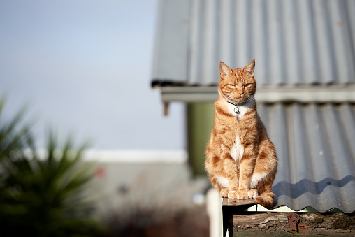 Ginger red tabby cat sitting relaxed on a tin roof against a blue sky.