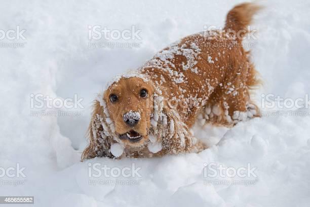 Ginger spaniel pup playing in snow picture id465655582?b=1&k=6&m=465655582&s=612x612&h=fwmyspxcz2d1aj ojcvbmc9teb8stoztrh8mibwyad8=