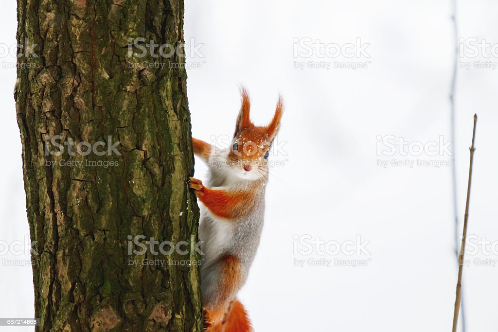 Ginger squirrel sits on a tree in the winter forest. stock photo